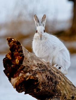 Snowshoe Hare on log