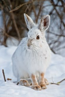 Snowshoe Hare and in snow