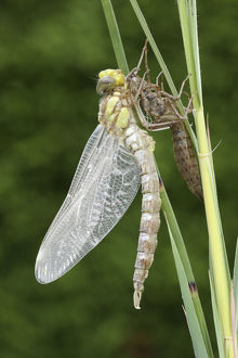 nature wildlife/dieter hopf/southern hawker blue darner aeshna cyanea dragonfly