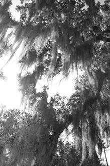 Spanish moss trees in park