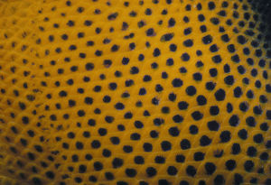 Spots of Queen Angelfish