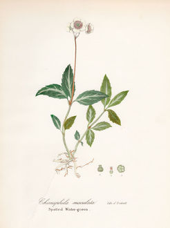 Spotted wintergreen botanical engraving 1843