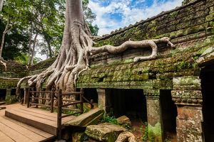 Spung tree cover Ta Prohm temple in Siem Reap, Cambodia.