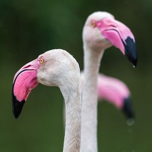 Square crop of a trio of Greater flamingos