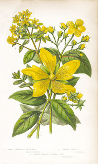 St. John's Wort Victorian Botanical Illustration