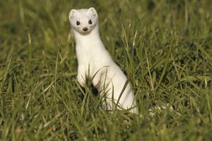 Stoat, Ermine or Short-tailed weasel -Mustela erminea-, winter fur, Allgau, Bavaria