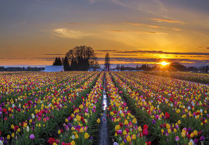 Sunset over tulip field
