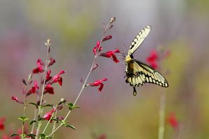 Swallowtail butterfly on red wildflowers