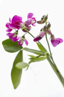 sweet pea on white background