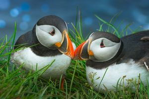 Sweet Puffin couple