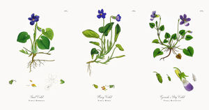Sweet Violet, Viola Odorata, Victorian Botanical Illustration, 1863