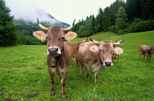 Swiss brown cows (Bos taurus) on green hills