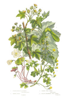 Sycamore, Acer and Wood Sorrel Victorian Botanical Illustration