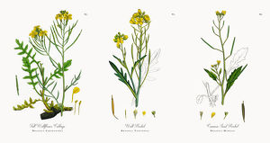 Tall Wallflower Cabbage, Brassica Cheiranthus, Victorian Botanical Illustration, 1863