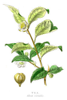 Tea plant botanical engraving 1857