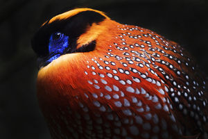 collections/photodisc collection/temmincks tragopan portrait