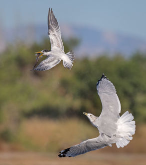 Tern vs Gull