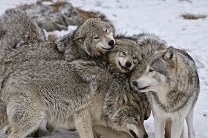 Timber Wolf Pack