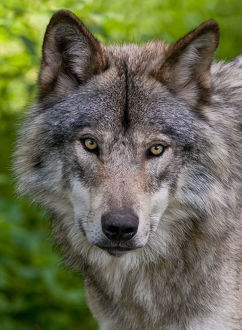 Timber Wolf Pictures