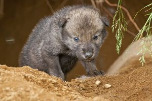 Timber Wolf Pup.