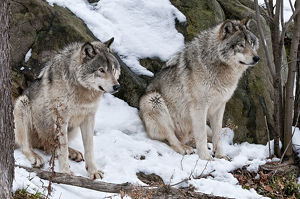 Two Timber Wolves