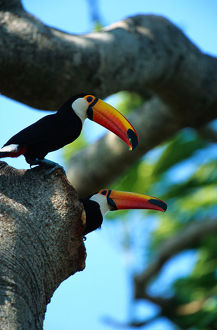 Toco toucans (Ramphastos toco) in tree hole, Pantanal, Brazil