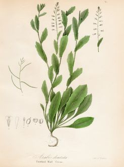 Toothed Wall Cress botanical engraving 1843