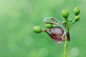 Tree frog sitting on a plant, Indonesia