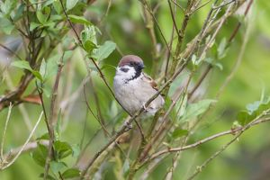 nature wildlife/stephan rech photography/tree sparrow passer montanus fuldabruck fuldabruck