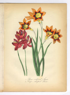 Tri-Colored and Cup-Shaped Ixia Victorian Botanical Illustration