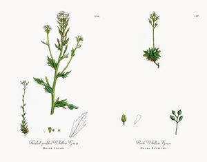 Twisted-podded Whitlow Grass, Draba Incana, Victorian Botanical Illustration, 1863