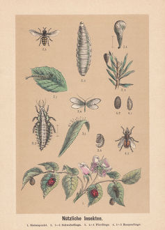 Useful insects, hand-colored lithograph, published in 1888
