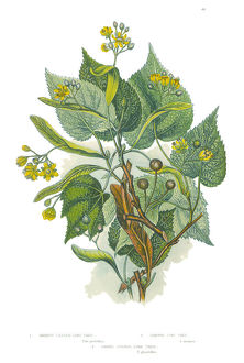Victorian Botanical Illustration of a Lime Tree