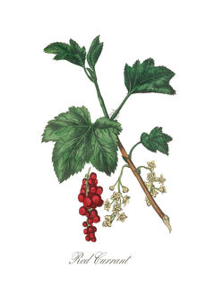 Victorian Botanical Illustration of Red Currant