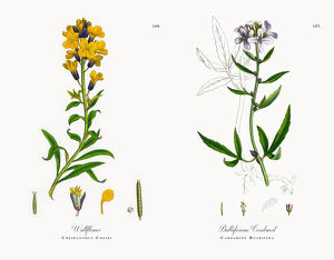 Wallflower, Cheiranthus Cheiri, Victorian Botanical Illustration, 1863