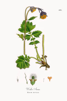 Water Avens, Geum rivale, Victorian Botanical Illustration, 1863