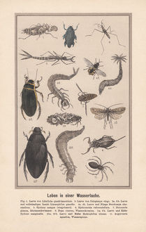 Water insects in a biotope, hand-colored lithograph, published in 1889