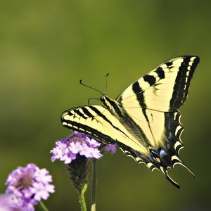 Western Tiger Swallowtail Butterfly Closeup