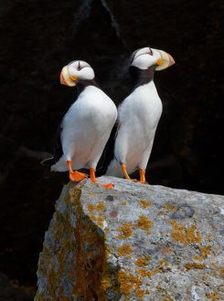 White-chested puffins, Fratercula corniculata, Horned puffins, Lake Clark National Park