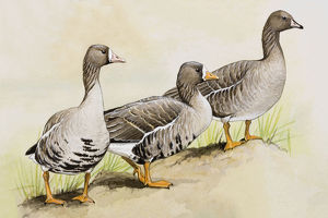 Three White-fronted geese (Anser albifrons), standing side by side