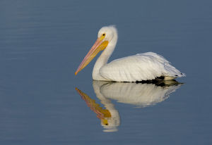 White Pelican with Reflection