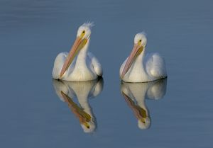 White Pelicans with Reflection