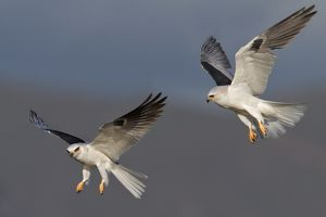 White-tailed Kite