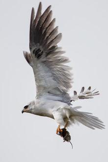 White tailed kite on flight