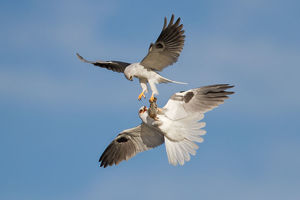 White-tailed Kite food exchange