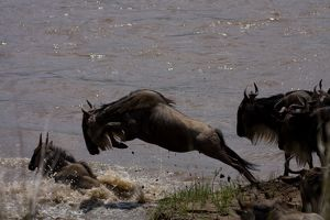 Wildebeast Leaping for Survival