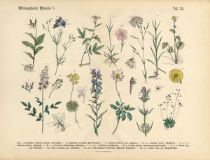 Wildflower and Medicinal Herbal Plants, Victorian Botanical Illustration