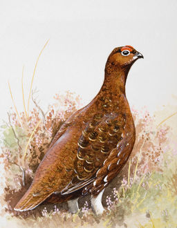 Willow grouse (Lagopus lagopus) in heathland, side view