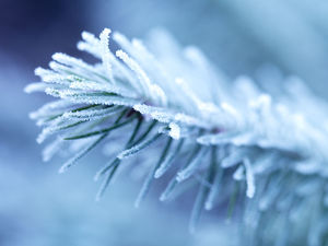 Winter branch with frost