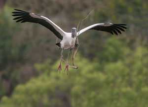 wood stork coming in to land